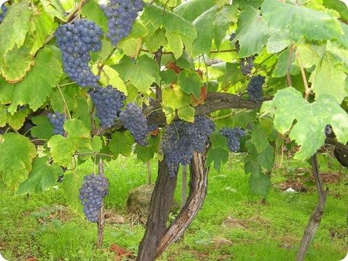 madeira news blog 0909 tobi grapes