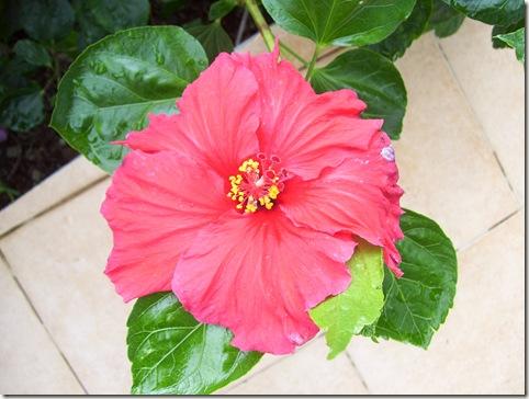 madeira news blog 0912 elaine west hibiscus flower