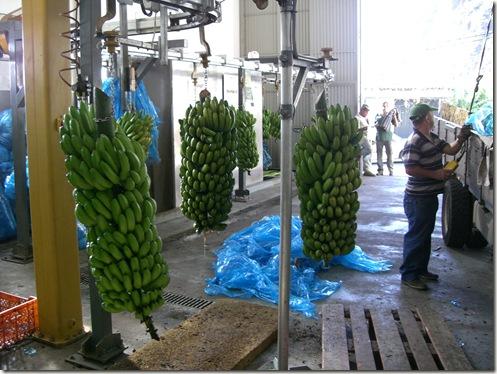 madeira news blog 1002 rita Banana wash production line at the co-operative in Madalena do Mar