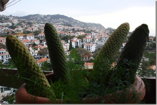 madeira news blog 1002 tom annobannana growing in a very unusual place