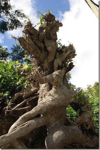 madeira news blog 1002 tom knarled tree