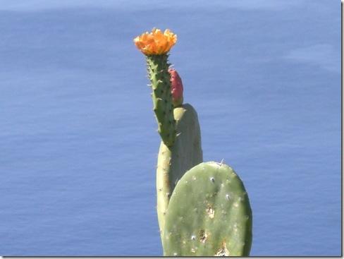 madeira news blog 1003 rita Prickly pear at Ribeira Brava viewpoint
