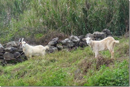 madeira news blog 1003 tobi goats