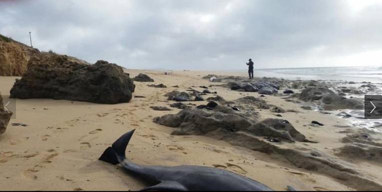 dolphins dead on Porto Santo