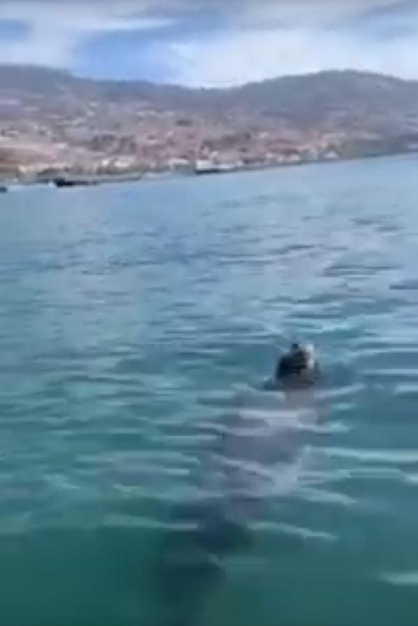 Monk seal filmed in the bay of Funchal